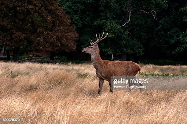 before the rut - white tail deer stock photos and pictures