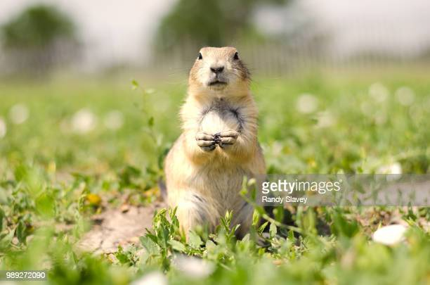 beggar - prairie dog stock pictures, royalty-free photos & images