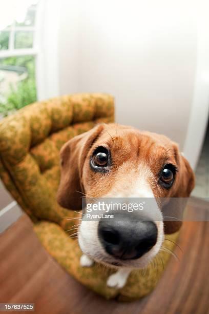 Begging Beagle Dog Fisheye