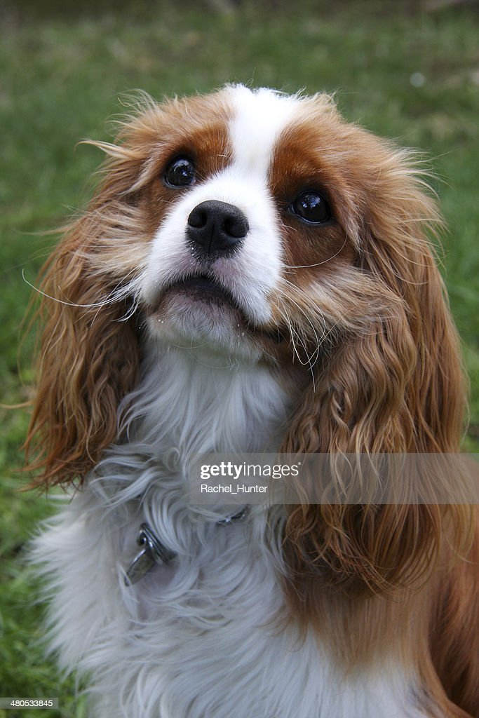 Begging Cavalier King Charles Spaniel : Stock Photo