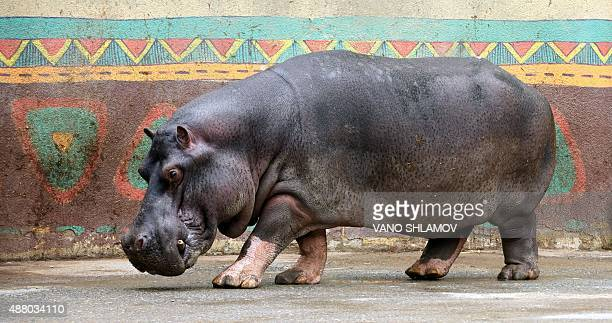 Begi hippopotamus named Begi walks inside its enclosure at the Tbilisi zoo on September 13 2015 The zoo has reopened today after been destroyed by...