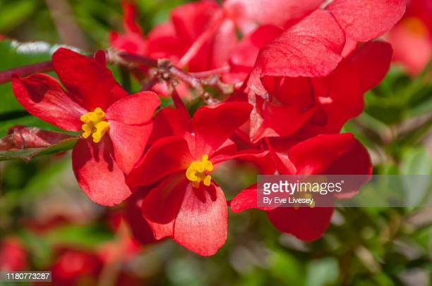 begonia 'dragon wing red' flowers - begonia stock pictures, royalty-free photos & images