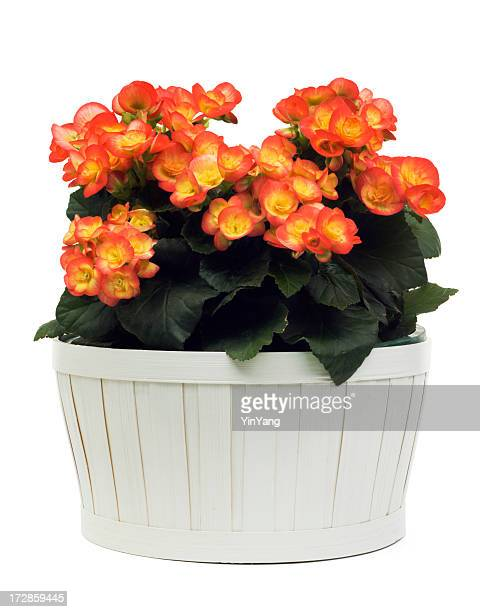 begonia flower, orange flowering potted plant in basket, on white - begonia stock pictures, royalty-free photos & images