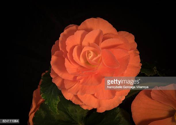 begonia flowers - nancybelle villarroya stock photos and pictures