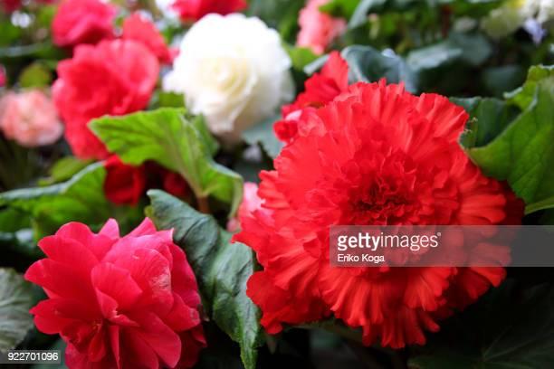 begonia flowers - 優美 ストックフォトと画像