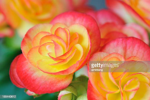 begonia - begonia stock pictures, royalty-free photos & images