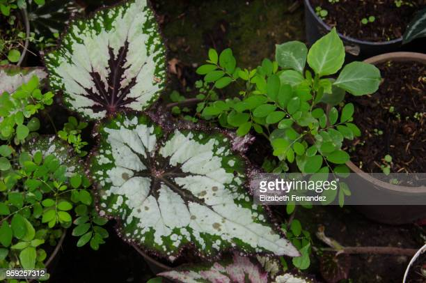 begonia rex leaves - begonia stock pictures, royalty-free photos & images