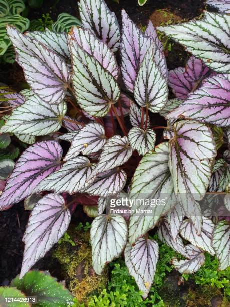 begonia rex or painted leaf begonia plants - begonia stock pictures, royalty-free photos & images