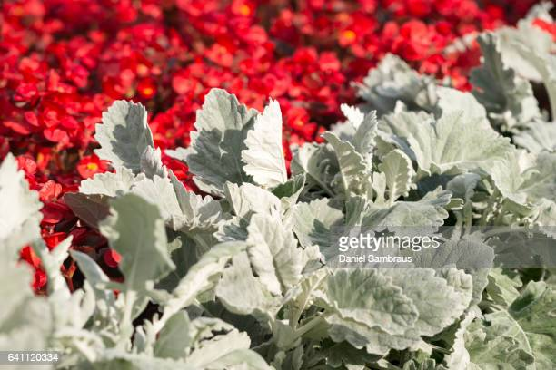 Begonia semperflorens and Senecio cineraria