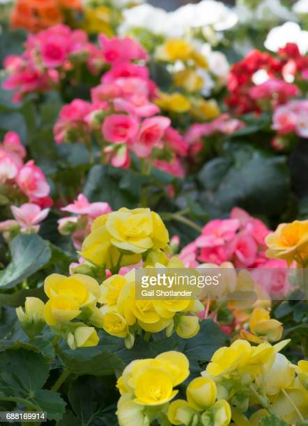 begonias in multicolour - begonia stock pictures, royalty-free photos & images