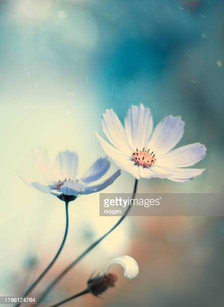 begue vintage cosmos flower soft blurred skybokeh background - cosmos flower stock pictures, royalty-free photos & images