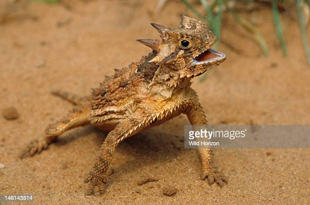 Behaviorial thermoregulation by a Texas horned lizard panting with body elevated above hot sand Phrynosoma cornutum This species is the official...