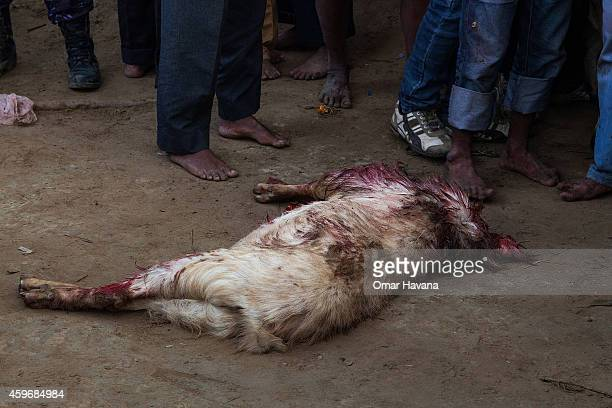 A beheaded goat lays on the ground after being sacrificed by devotees during the celebration of the Gadhimai festival on November 28 2014 in...