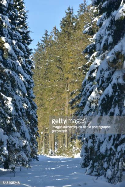 Behind snowy coniferous trees ,the others under sunlight