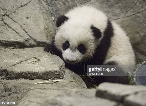 Bei Bei a Giant Panda cub born on August 22 makes his first media appearance at the Smithsonian National Zoo in Washington DC December 16 2015 Bei...