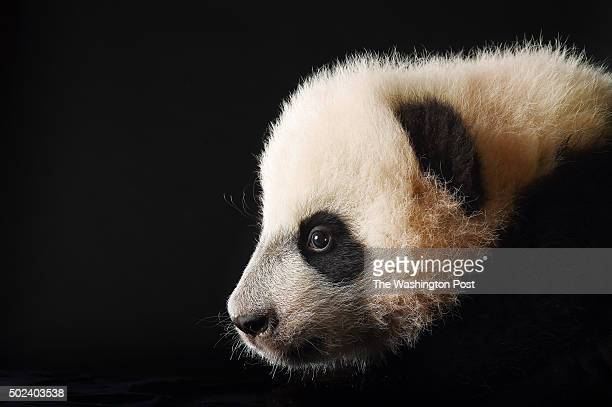 Bei Bei the giant panda cub is photographed at the Smithsonian National Zoological Park on Tuesday December 15 2015 in Washington DC He was born...