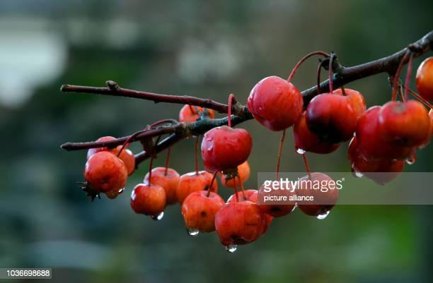 Bei regnerischem Wetter hängen am im Japanischen Garten in DüsseldorfOberkassel Regentropfen an Zieräpfeln die an einem Strauch hängen Foto Horst...