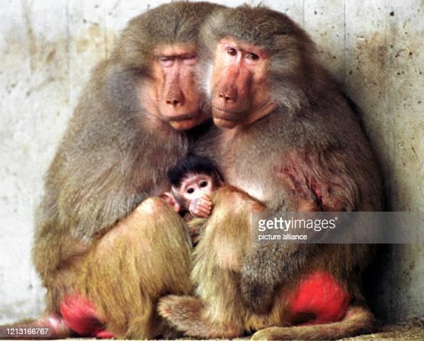 Bei Temperaturen um drei Grad rückt auch diese Pavian-Familie am im Münchner Tierpark Hellabrunn ganz dicht aneinander. Die Mantelpaviane leben...