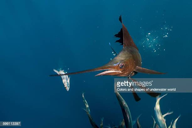 Being in front of hunting Sailfish