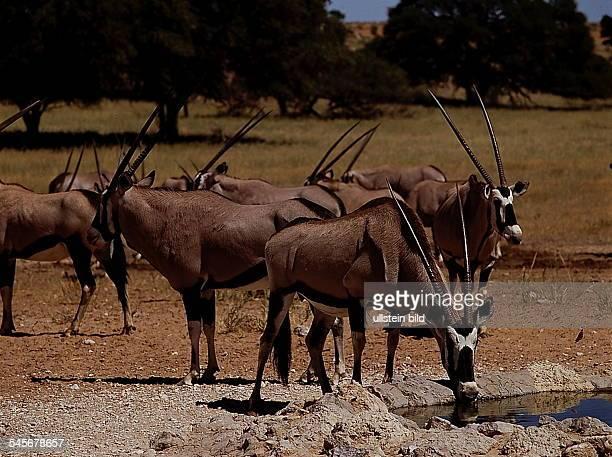 Beisa-Antilopen - Kalahari GemsbokNational Park, Republik Südafrika- 1993
