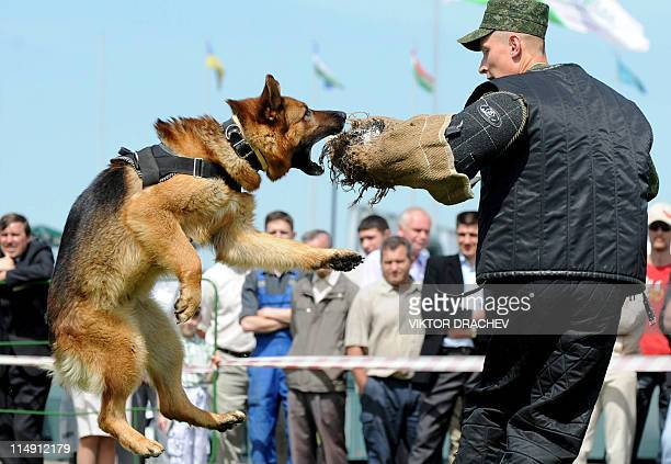 A Belarus soldier demonstrates an attack dog's skills during the opening ceremony of the MILEX2011 arms and military equipment exhibition in Minsk on...