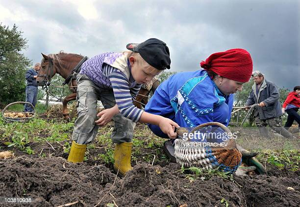Belarus woman and her son pick potatoes at the field in a village of Pererov some 270 km south of Minsk on August 29 2010 AFP PHOTO / VIKTOR DRACHEV