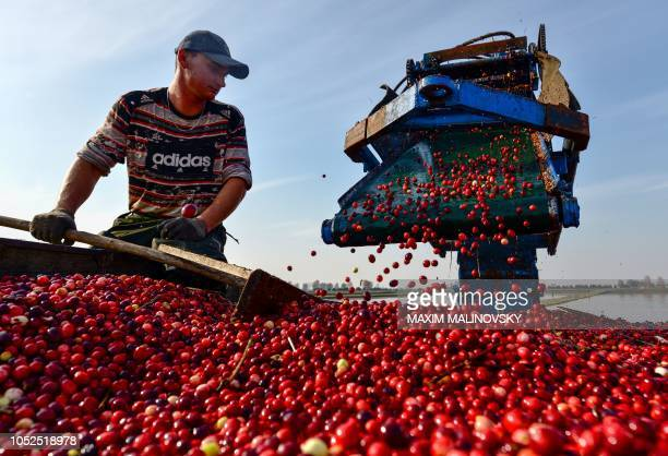 Belarus' worker harvests cranberries at the 'Polesskie Zhuraviny' state farm in the village of Selishche some 300 km south of Minsk on October 19 2018