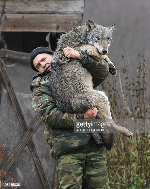 Belarus zoologist Dmitry Shamovich carries a wolf at his farm near a town of Sosnovy Bor some 300 km north of Minsk on October 29 2010 Since 2004 he...
