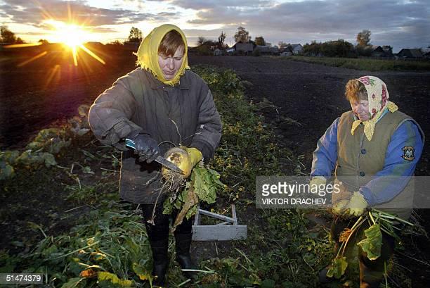 Belarussian farmers harvest the mangel in their field near the village of Pribrezhnoye some 110 kms from Minsk late 12 October 2004 Belarus a former...