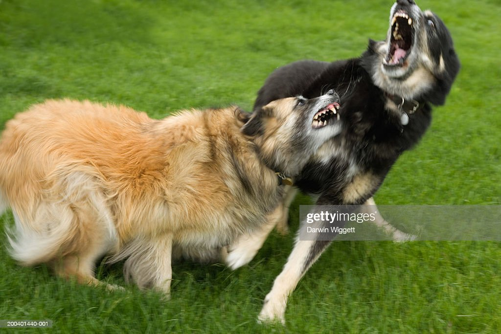 Belgian collie and mixed breed shepherd roughhousing (blurred motion) : Foto de stock