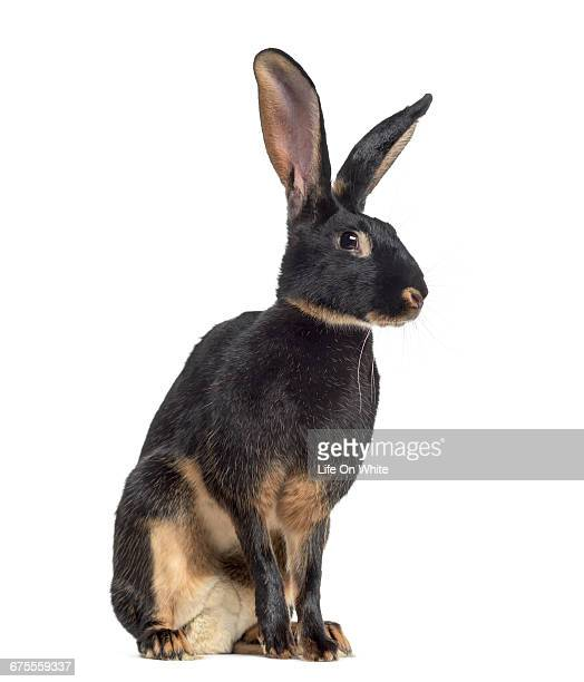 belgian hare isolated on white - hare stock pictures, royalty-free photos & images