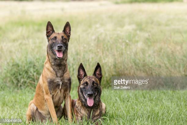 belgian malinois and dutch shepherd in meadow - berger belge malinois photos et images de collection