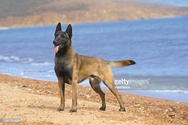 belgian malinois - belgian malinois stock photos and pictures