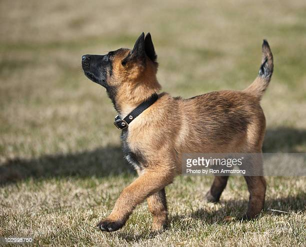 belgian malinois puppy - belgian malinois stock photos and pictures