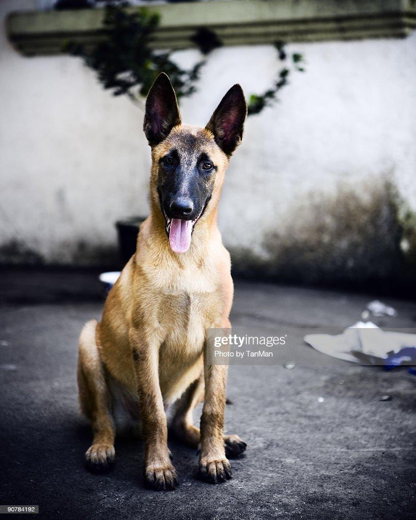 Belgian Malinois Puppy : Stock Photo