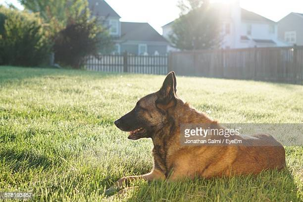 belgian malinois resting on grassy field on sunny day - belgian malinois stock photos and pictures