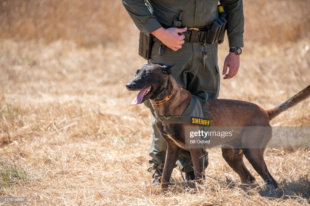 Belgian Malinois training in field with k9 unit of police force : Stock Photo