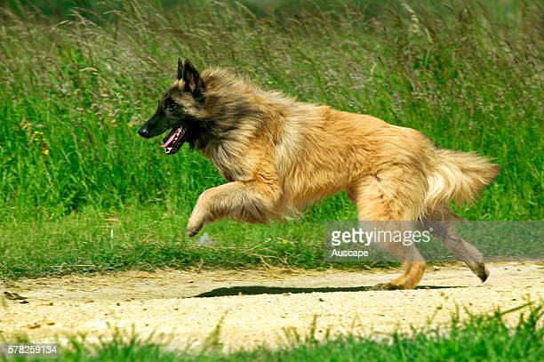 Belgian sheepdog, Canis familiaris, running. Bred to grab livestock so can be quick to bite and bite is hard. Territorial, robust, high energy. Also...