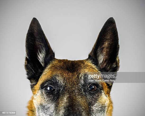 Belgian Sheperd Malinois dog looking at camera with suspicious expression.