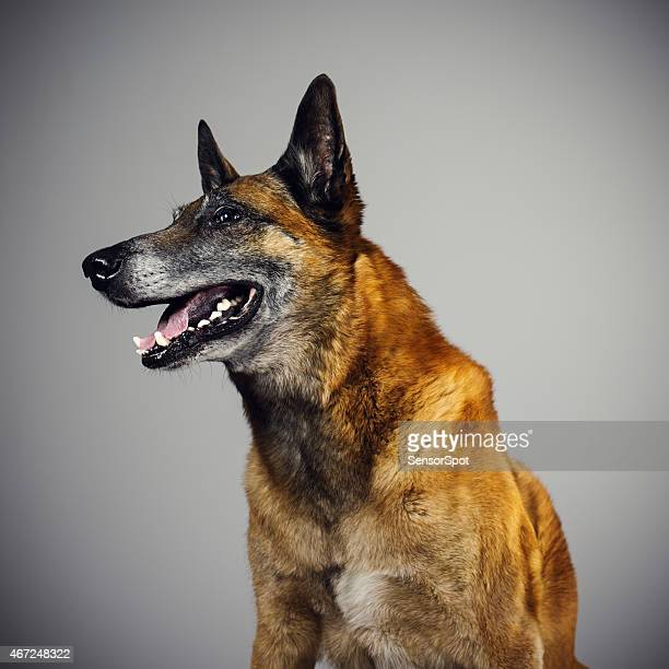 belgian sheperd malinois dog portrait looking to the side. - belgian malinois stock photos and pictures