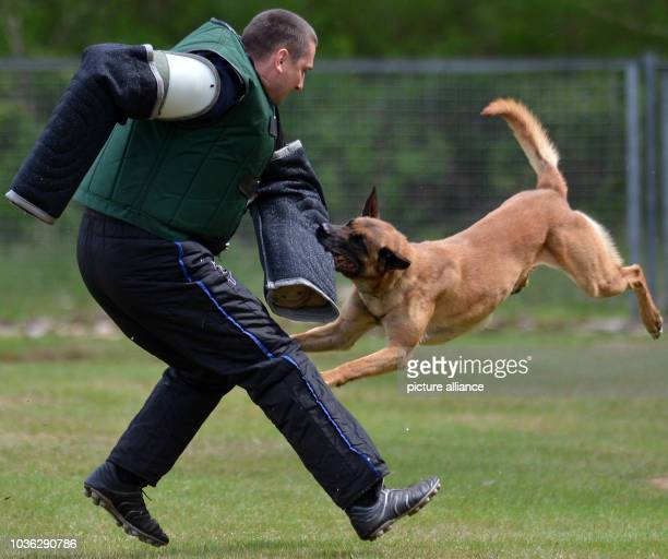 Belgian Shepherd Dog attacks a potential attacker at the service dog training school in Bad Schmiedeberg,Germany, 03 May 2013. Benchmark testing...