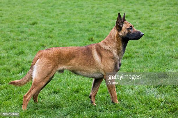 Belgian Shepherd Dog / Malinois in field, Belgium.