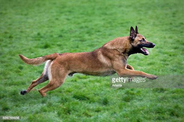 Belgian Shepherd Dog / Malinois running in field Belgium