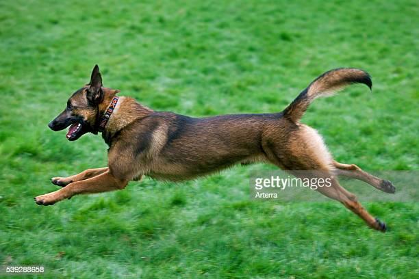 Belgian Shepherd Dog / Malinois running in field, Belgium.