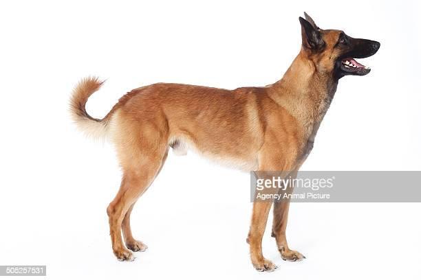 belgian shepherd dog - renânia do norte vestfália imagens e fotografias de stock
