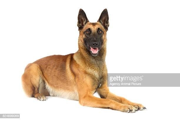 belgian shepherd dog - belgian malinois stock photos and pictures