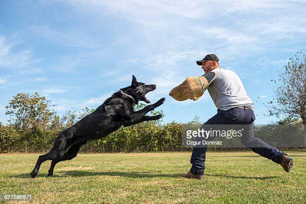 belgian shepherd dog training - animals attacking stock pictures, royalty-free photos & images