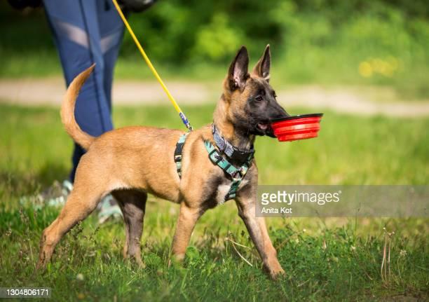 a belgian shepherd puppy is carrying a bowl - berger belge malinois photos et images de collection