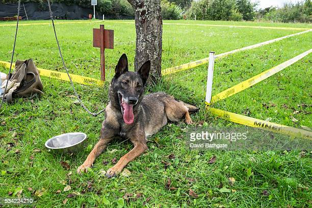 Belgian Shepherd rests between mine detection training sessions at the Norwegian People's Ad Global Training Centre in Vogosca, on the outskirts of...