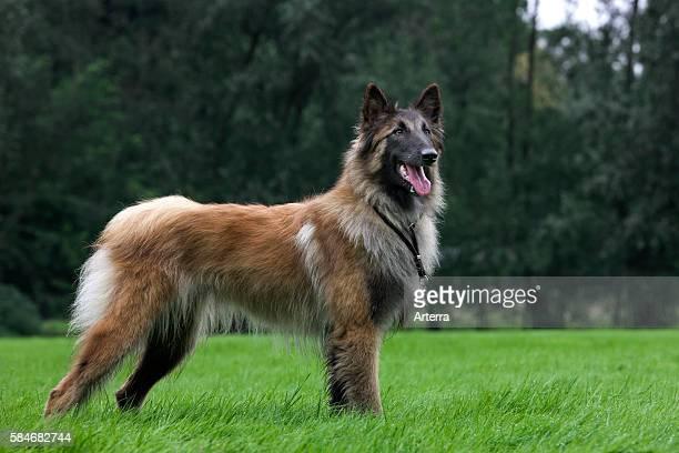Belgian Shepherd Tervuren / Tervueren dog in garden.